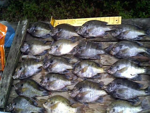 Crappie fishing bluegill shellcracker and crappie for Shell cracker fish